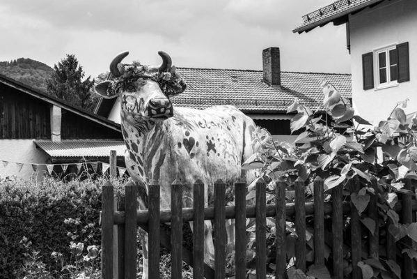 Bức ảnh chú bò